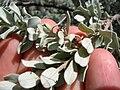 Starr 041028-0234 Leucophyllum frutescens.jpg