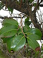 Starr 060225-6165 Xylosma hawaiiense.jpg