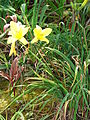 Starr 070302-4917 Hemerocallis sp..jpg