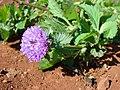 Starr 070402-6337 Centratherum punctatum subsp. punctatum.jpg