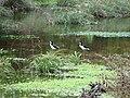 Starr 090205-2337 Cyperus javanicus.jpg