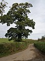 Stately oak tree - geograph.org.uk - 1021882.jpg