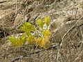 Sternbergia clusiana4.JPG