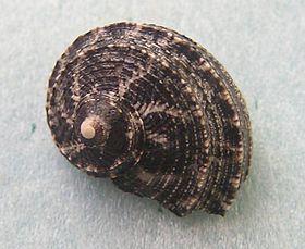 Stomatolina angulata 001.jpg