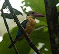 Stork-billed-kingfisher-from-kerala-india.jpg