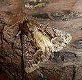 Straw Underwing. Thalophila matura - Flickr - gailhampshire.jpg