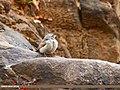 Striolated Bunting (Emberiza striolata) (37096900675).jpg