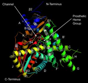 Lanosterol 14 alpha-demethylase - Structure of lanosterol 14α-demethylase (CYP51), as identified by Podust et al.