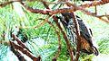 Stygian Owl - panoramio.jpg