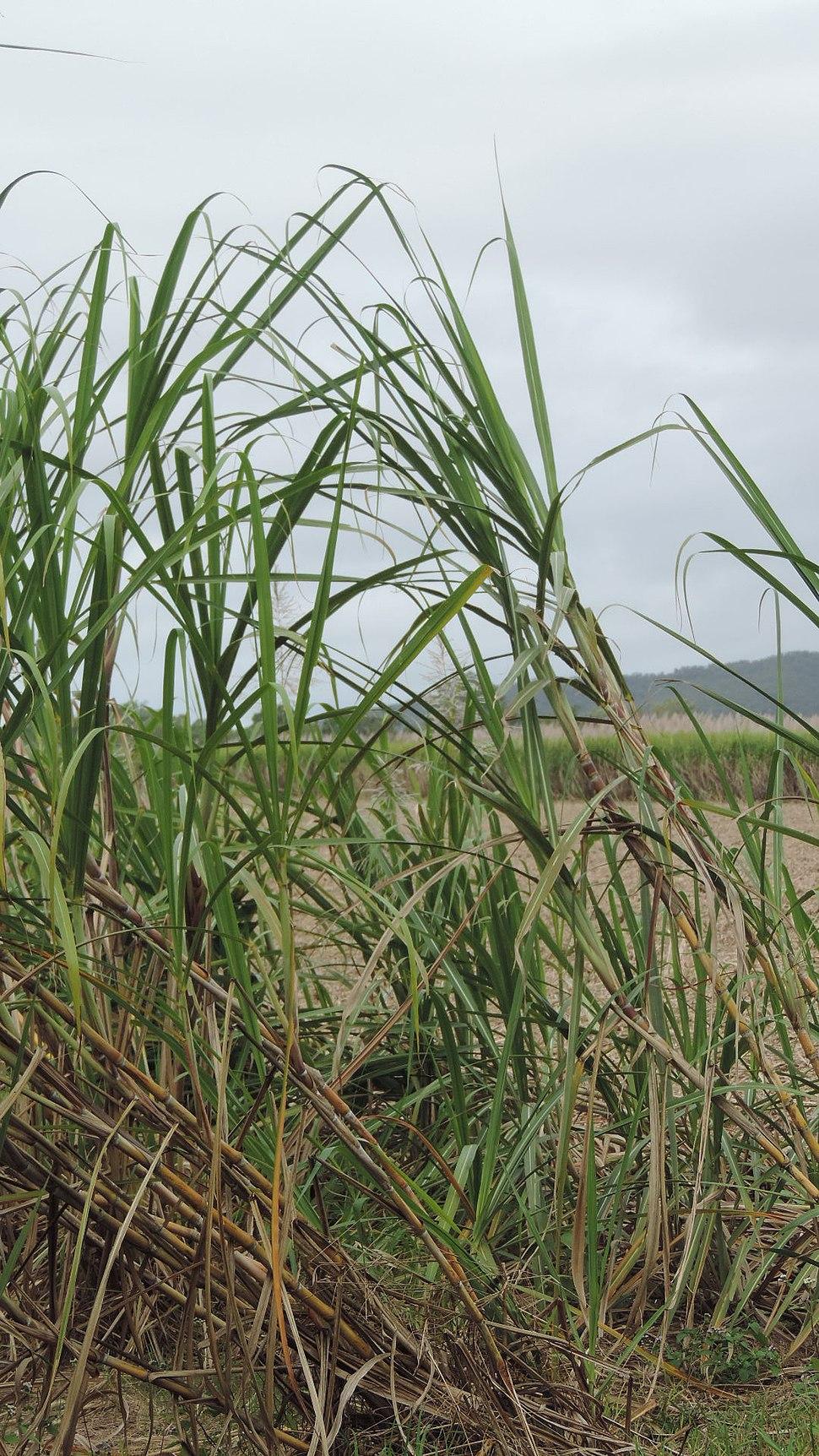 Sugar cane growing in Carmila, 2016