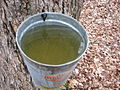 Sugar maple sap (3465663029).jpg