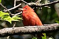 Summer Tanager (male) Sabine Woods High Island TX 2018-04-26 08-35-48 (42090666981).jpg