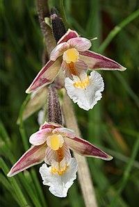 Sumpf-Stendelwurz Epipactis palustris.jpg