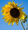 SunflowerAgainstBlueSky.jpg
