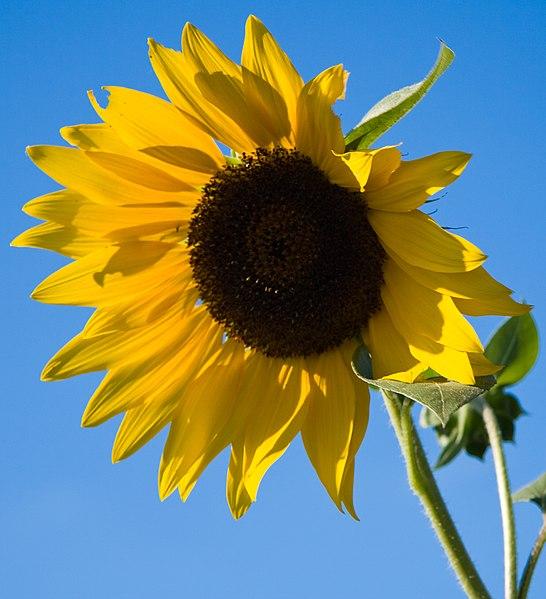 File:SunflowerAgainstBlueSky.jpg