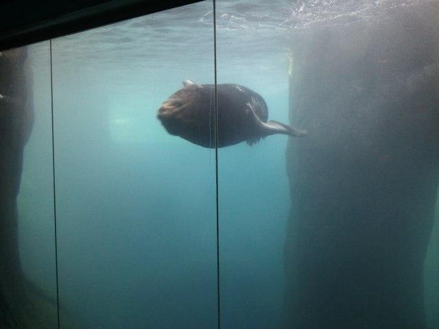 Sunny the Sea Lion at the El Paso Zoo