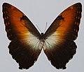 Sunset Morpho (Morpho hecuba hecuba) (8430491070).jpg
