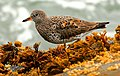 Surfbird-26MAR2016.jpg