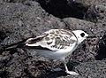 Swallow-tailed gull (47747975242).jpg