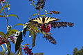 Swallowtail butterfly - Public Domain.jpg