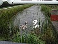 Swans on the Canal - geograph.org.uk - 54954.jpg