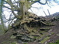 Sycamore roots at Auchenskeith quarry, near Kilwinning.JPG