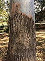 Sydney Blue Gum (E.saligna) - stocking bark.jpg