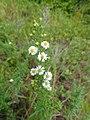 Symphyotrichum ericoides 32153835.jpg