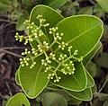 Syzygium caryophyllatum 05.JPG