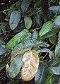 Syzygium mundagam 05.JPG