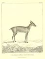 THE KIJANG OR ROE, Cervus muntjak.jpg