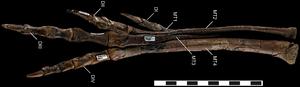 Talos (dinosaur) - Articulated foot