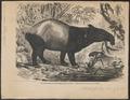Tapirus indicus - 1876 - Print - Iconographia Zoologica - Special Collections University of Amsterdam - UBA01 IZ22000289.tif