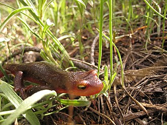 Sierra newt - Image: Taricha torosa sierrae