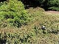 Taxodium distichum 13zz.jpg