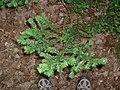 Taxus canadensis, Pancake Bay.jpg