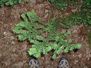 Taxus canadensis - Canada yew