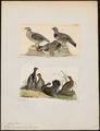 Tetrao canadensis - 1700-1880 - Print - Iconographia Zoologica - Special Collections University of Amsterdam - UBA01 IZ17100351.tif
