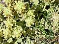 Teucrium capitatum subsp. capitatum Enfoque 2009-7-25 SierraNevada.jpg
