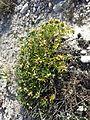 Teucrium montanum sl6.jpg