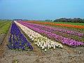 Texel Easter 2009 - Hyacinths View NNE.jpg