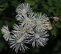 Thalictrum aquilegiifolium var. intermedium (flower s8).JPG