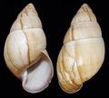 Thaumastus flori shell 3.png