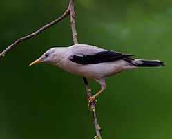 The Andamans White Headed Starling.jpg