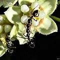 The Embrace (Camponotus sexguttatus) (8100603323).jpg