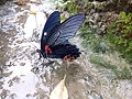 The Great Mormon, Papilio memnon, Male, seen mud-puddling in a ditch.jpg