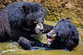 The Himalayan black bear (Ursus thibetanus) is a rare subspecies of the Asiatic black bear. 16.jpg