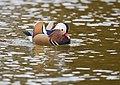 The Mandarin Duck of St. Ferdinand Park (45717518512).jpg