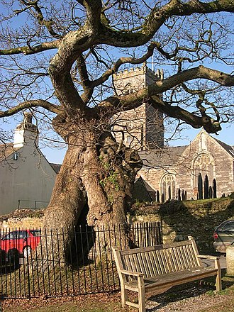 Meavy - The Meavy Oak in front of the church