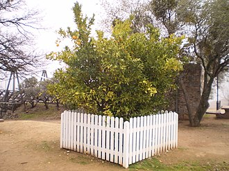 California Historical Landmarks in Butte County - Image: The Mother Orange Tree
